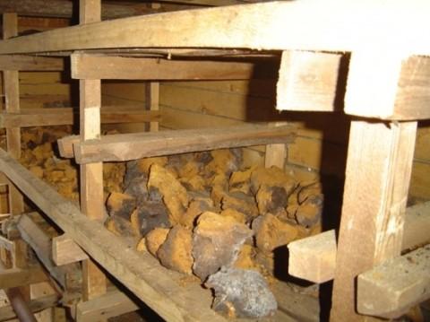 차가버섯은 어떤 효능/효과가 있나요?